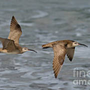 Whimbrels Flying Above Beach Poster