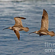 Whimbrels Flying Close Poster
