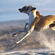 Whippet Dogs Fighting Poster