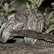 Whiskered Screech Owls Poster