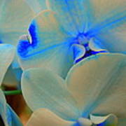 White And Blue Orchid Poster
