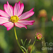White And Magenta Cosmos Poster