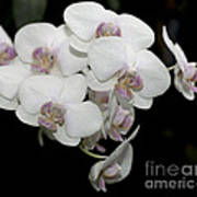 White And Pale Pink Phalaenopsis   9920 Poster