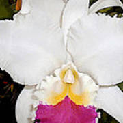 White And Purple Cattleya Orchid Poster