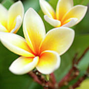 White And Yellow Plumeria Flowers Poster