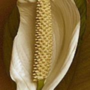 White Anthurium Flower Poster