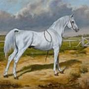 White Arabian Stallion Poster