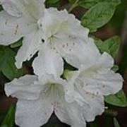 White Azalea 14-1 Poster