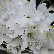 White Azaleas In Bermuda Poster