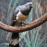 White-bellied Go-away-bird Poster