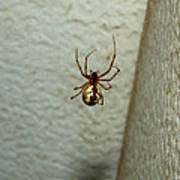 White Belly Spider Poster