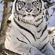 White Bengal Tiger, Forestry Farm Poster