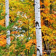 White Birch Autumn Poster
