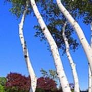 White Birch Blue Sky Poster