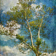 White Birch In May Poster