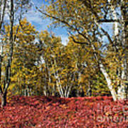 White Birches Of Fall Poster