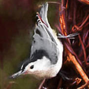 White-breasted Nuthatch - Classic Pose Poster