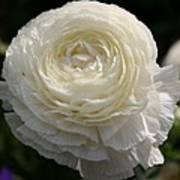 White Buttercup - Ranunculus Poster