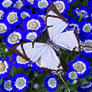 White Butterfly On Blue Cineraria Poster