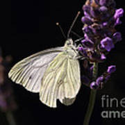 White Butterfly On Lavender Against A Black Background Poster