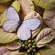 White Butterfly On Poinsettia Poster
