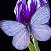 White Butterfly On Purple Tulip Poster