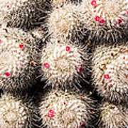 White Cactus Pink Flowers No1 Poster