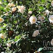 White Camellias Poster by Carol Groenen