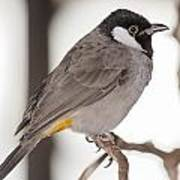 White Cheeked Bulbul Poster by Gerald Murray Photography
