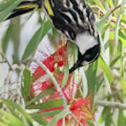 White-cheeked Honeyeater Feeding Poster
