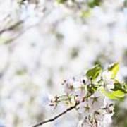 White Cherry Blossom Flowers  Poster