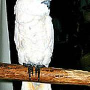 White Cockatiel-loreto Mx. Poster