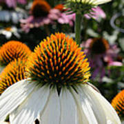 White Cone Flower Poster