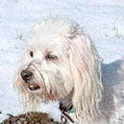 White Coton De Tulear Dog In Snow Poster