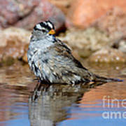 White-crowned Sparrow Bathing Poster