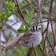 White Crowned Sparrow Poster
