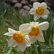 White Daffies Poster