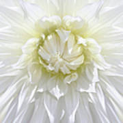 White Dahlia Floral Delight Poster