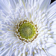 White Daisy Close Up Poster