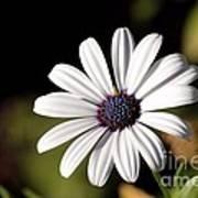 White Daisy Poster