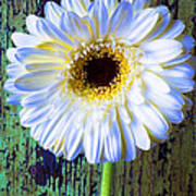 White Daisy With Green Wall Poster