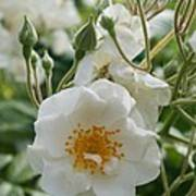 White Dog Rose And Buds Poster