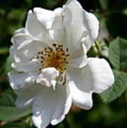 White Dog Rose Poster