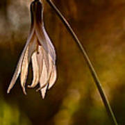 White Dogtooth Violet Poster