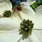 White Dogwood Flowers Art Prints Spring Poster by Baslee Troutman