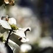 White Dogwood Flowers Poster