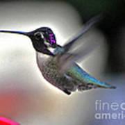 White Eared Male Costa's Hummingbird Poster