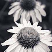 White Echinacea Flower Or Coneflower Poster by Adam Romanowicz