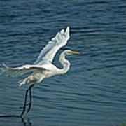 White Egret Landing Poster