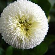 White English Daisy Poster